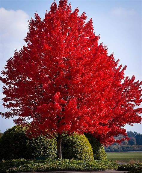 fruit trees for sale in nj 25 best ideas about maple tree on maple