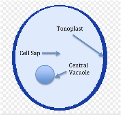 diagram of vacuole cell the unit of study material for neet aipmt