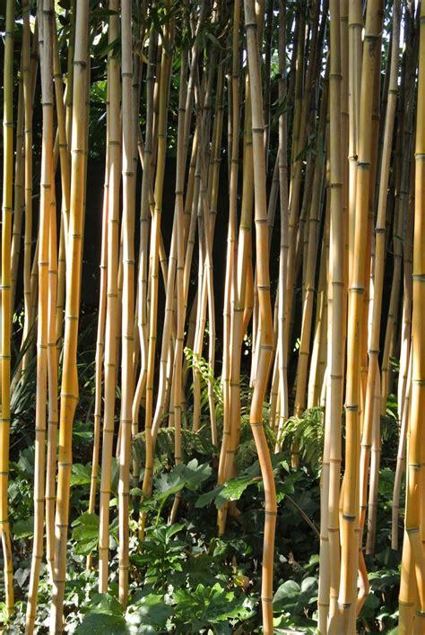wann bambus pflanzen bambus wann pflanzen wann ist pflanzzeit f r bambus