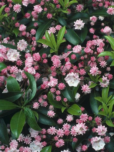 calico bush this dense bushy shrub bears distinctive pink flowers from crimped buds in summer