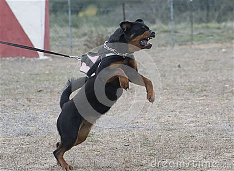 are rottweilers aggressive by nature aggressive rottweiler stock images image 35291154