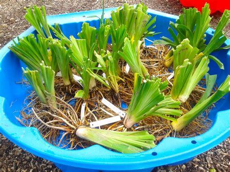 Taglilien Teilen by Taglilien Teilen Pflanzen F 252 R Nassen Boden