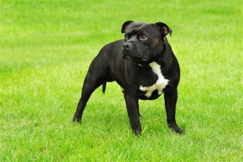 American Staffordshire Terrier: Dominant aber freundlich