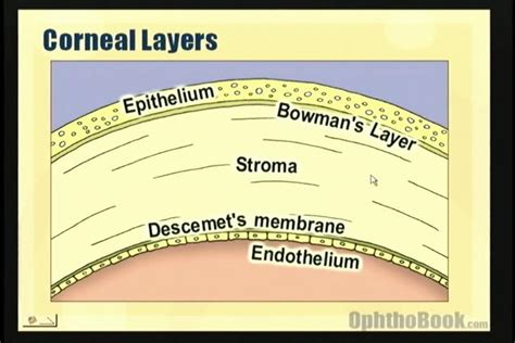 diagram of cornea newly discovered dua s layer has in glaucoma eyedolatry
