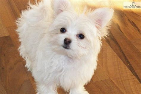 papitese puppies for sale meet snowball a mixed other puppy for sale for 700 papitese puppy a maltese
