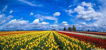 tulip fields tulip fields in netherlands pics