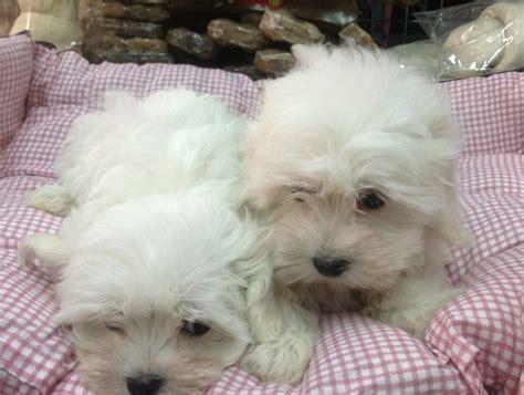 d italia cobasso regalo cuccioli maltese regalo cuccioli maltese cuccioli