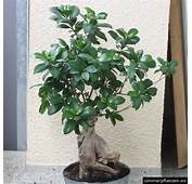 Lorbeerfeige Ficus Microcarpa Ginseng