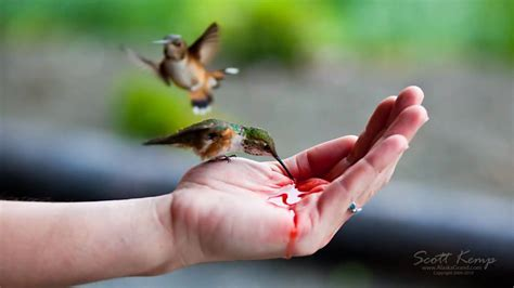hand feeding hummingbirds funnycat tv