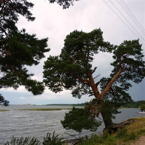 x tree panoramio photo of quot x tree quot lake tudozero дерево quot х
