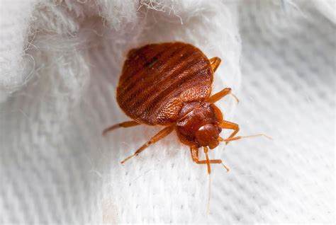 how are bed bugs created a bedbug trap that might actually work smart news
