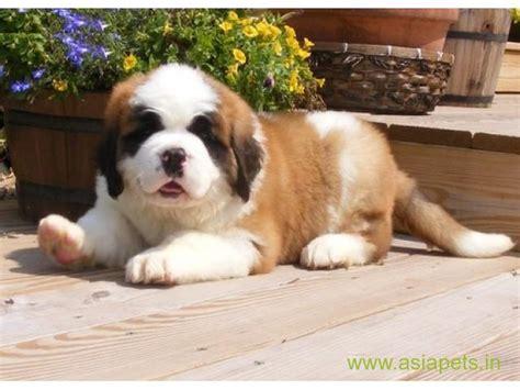 golden retriever cost in bangalore boxer for sale in bangalore boxer puppy dogspotin