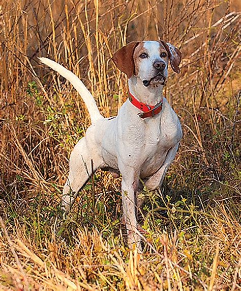 types of pointer dogs how to a pointing breed gun magazine