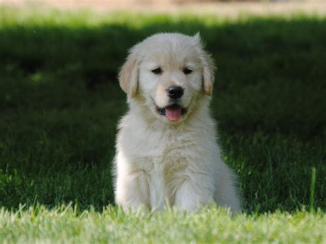 golden retrievers rochester ny golden retriever puppies rochester ny dogs our friends photo