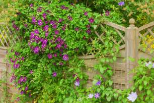 Best Climbing Plants - the best climbing plants for your garden fence or wall