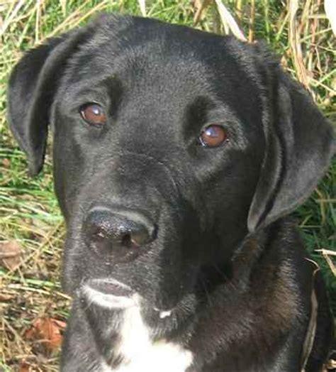 german sheprador puppies for sale german sheprador puppies for sale submit your own sheprador breeds picture