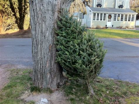 howard county christmas tree recycling wraps up this week