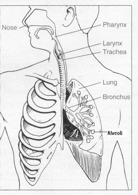 Diagram Respiratory Tract Of Earthworm Human Anatomy Picture Cc3 Sci Wk 10 Teachers Labeled Diagram Respiratory System Images To Teach Cc3 Science