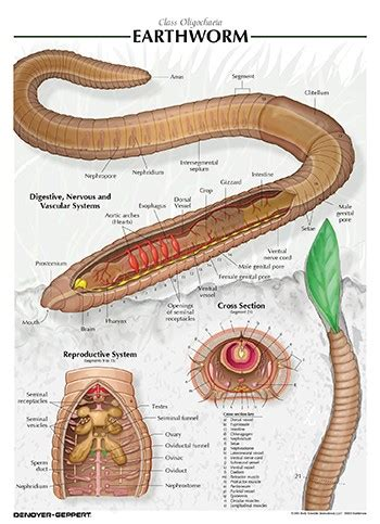 earthworm dissection facts earthworm chart
