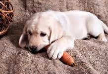 are carrots bad for dogs toxic to labradors