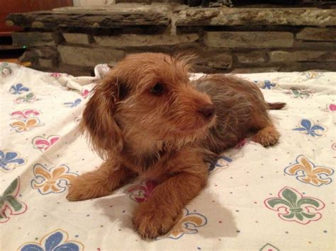 dachshund yorkie mix dachshund yorkie mix pictures breeds picture