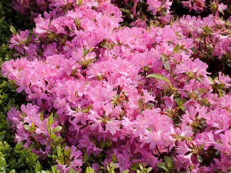 Azalea Shoo japanische azalee diamant rosa 174 rhododendron obtusum