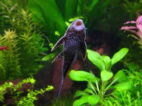 Freshwater Tropical Fish Profiles: Bottom Feeders   Witness This
