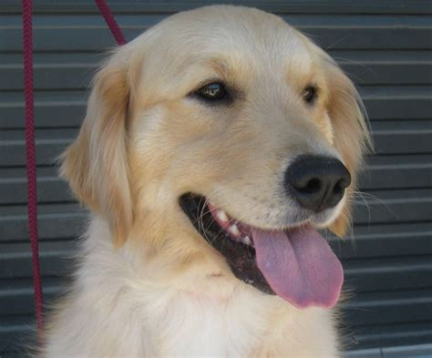 bicklewood golden retrievers s puppies and their owners