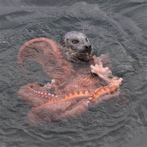 harbor seal vs giant octopus