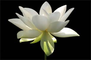 White Lotus Photography 1000 Images About White Flowers On White