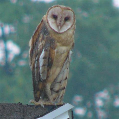in honor of ohio s barn owl pioneer greg miller birding