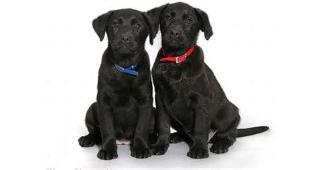 names for a black names for a black lab puppy lovable labradors