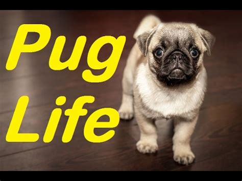 information about pug pug breed facts how pug is a best breed funnydog tv