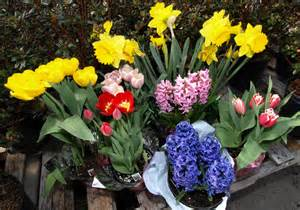 can easter lilies be planted outside resurrecting easter plants gardening