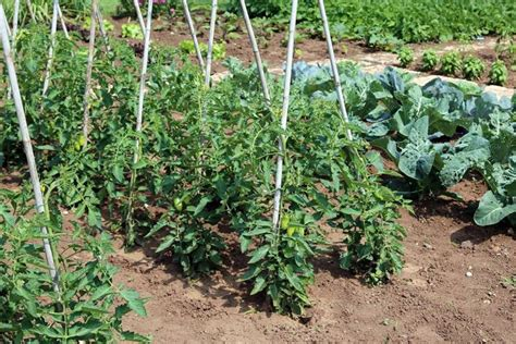 coltivare ortaggi in vaso come coltivare pomodori coltivazione ortaggi pomodori