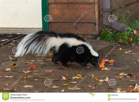 striped skunk mephitis mephitis royalty free stock