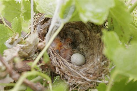 file baby birds in nest02 jpg