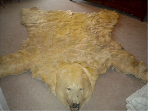real polar rug authentic 8 9 nose to real polar rug taxidermy hide