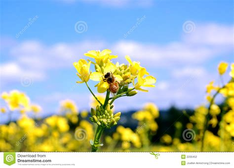 fiori di senape fiori della senape e dell ape fotografia stock immagine