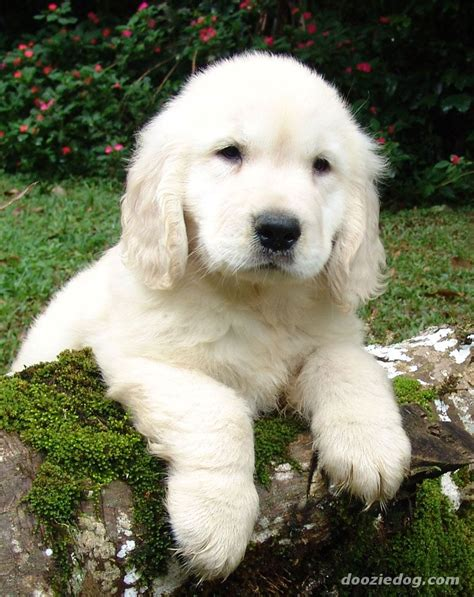 golden retriever puppy dogs info golden retriever