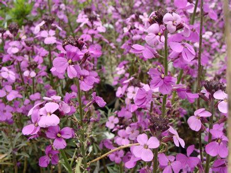 Arbuste De Haie 1207 by Cheiranthus Bowles Purple Girofl 233 E Arbustive Vivace