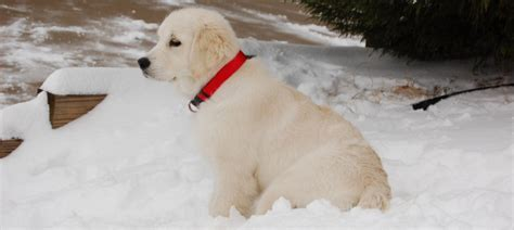 white golden retriever rescue white golden retriever puppies for sale and rescue