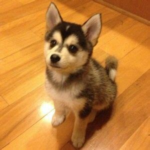 cross between a pomeranian and a husky 1000 ideas about pomeranian husky grown on pomsky information