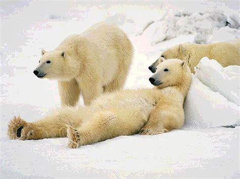 imagenes de osos wallpaper fondo pantalla osos polares