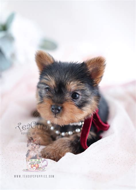 yorkie miami beautiful teacup yorkie puppies miami ft lauderdale area teacups puppies boutique