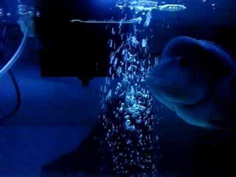 Pakan Ikan Louhan Supaya Cepat Besar cara merawat ikan louhan supaya sehat dan cepat besar