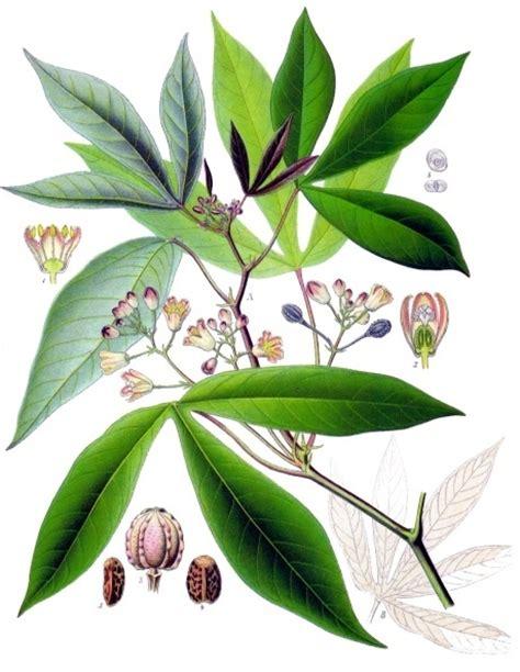 pohon wikipedia bahasa indonesia ensiklopedia bebas ketela pohon wikipedia bahasa indonesia ensiklopedia bebas