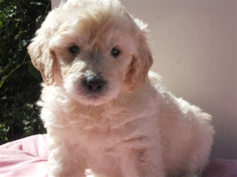 mini goldendoodles nc our mini goldendoodles about farm updated 3 29 18