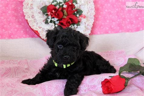 chocolate yorkie poo puppies for sale chocolate yorkiepoo yorkie poo puppy for sale near lancaster pennsylvania