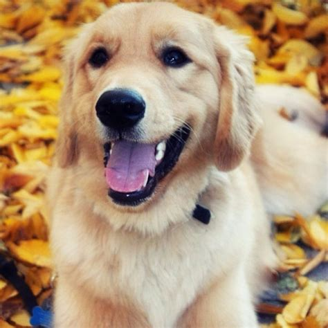 common cancer golden retrievers 10 breeds that are most likely to develop cancer barkpost